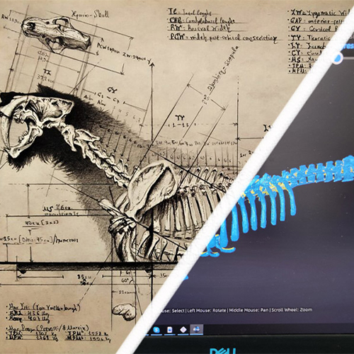 Smilodon Populator, half drawn, half 3D scanned